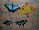 Vlinders: een biologische en ecologische kennismaking
