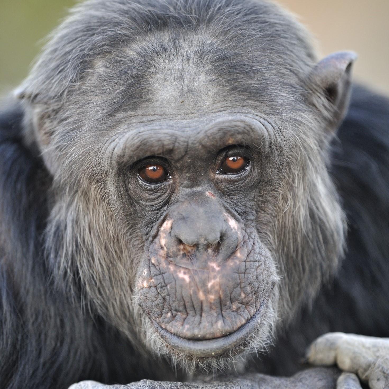 Ontmoet de chimpansee in de (lach)spiegel