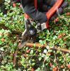Natuurlijk snoeien: voorjaarsbloeiers