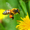 Bijen in het Groene Hart