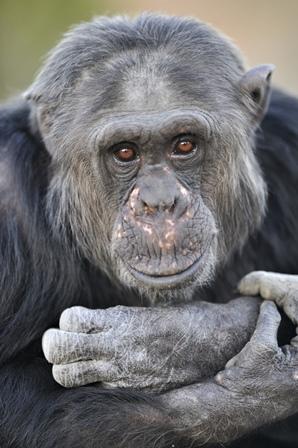 Chimpansee- en mensengedrag